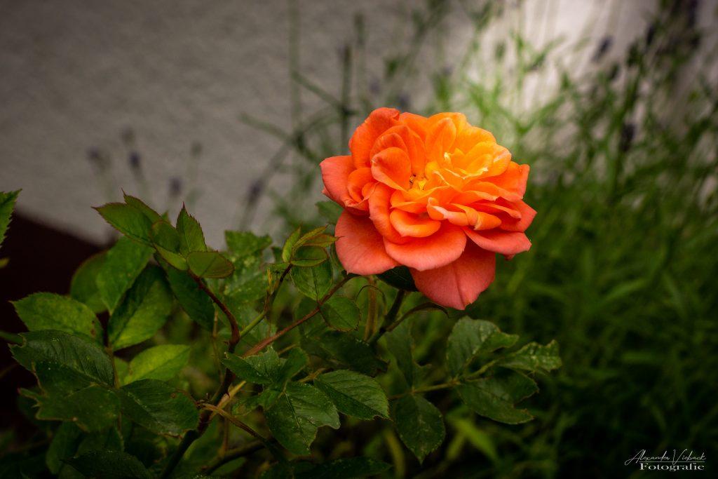 Rose is shining